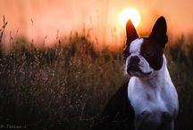 Dogs: Bostons, & Bulldogs