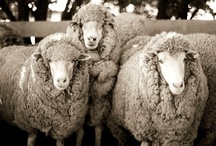 Sheep Sheep Sheep / by Jill Johnson