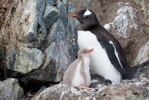 ptáci - Penguins - albno, melanism