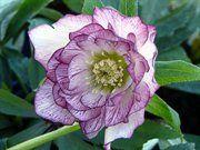 Christmas - Lenten Rose