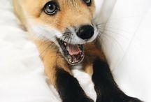 rókák rókák rókák