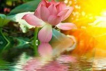 Virág  Lotusz