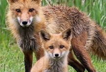 Foxes!!!!