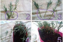 Lavender / Try growing lavender in your home garden,  how to grow lavender, uzgoj i razmnožavanje lavande http://www.kuharicareceptisavjeti.com/index.php/razno/338-lavanda-razmnoavanje-