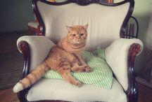 Igi & Lufti / My British cat - orange Igi and blue Lufti - british short hair cats