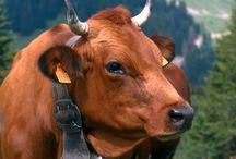 Les Vaches / The Cows