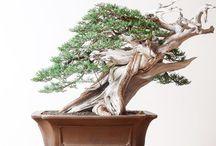 Bonsai Trees / Beautiful Bonsai Trees - Bonsai Warehouse.