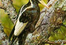 Spechte / Woodpecker