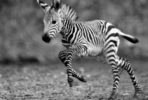Zebra's  / by Stephanie Bryant Weaver