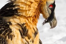 Bearded Vulture❤️