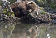 Animals   ( Bears )