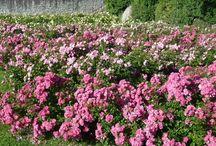 Le Jardin de Dorianne / Un jardin de roses dans les Jardins du Château de Vullierens