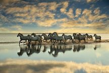 Camargue / Wild horse of France. Famous for the sight of them running through the water!