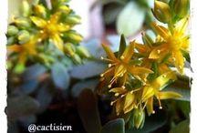 flor - sedum & suc. / cactos suculenta crasas sedum planta flor