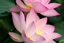 Lotus flowers, water plants, water garden