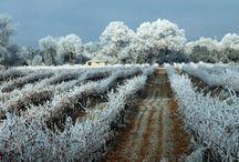Viñedos nevados / snowy vineyards vignes enneigées Snowy weinberge