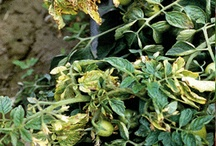 Tomato Diseases / Things can very quickly go wrong when growing tomatoes.  It's important to be identify problems early and take corrective action so you don't lose your whole crop!