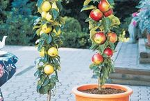 fruit plants in pots