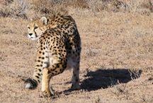 Zó kun jij SPOTS steunen! / Vele wilde katachtigen staan op het punt om uit te sterven. Wil jij helpen om dit te voorkomen? Je kunt op verschillende manieren een steentje bijdragen. Help Us Save The Big Cats!