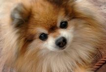 pomeranian doggies