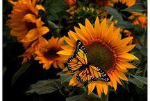 Sunflowers R Fun Flowers / by Melanie Murphy