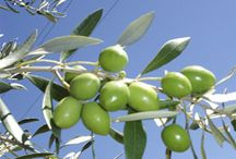 Growing and harvesting Olive Trees