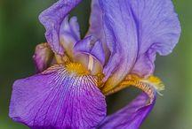 The Beautiful Iris