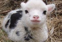 Ovelhas e Seus Bebês