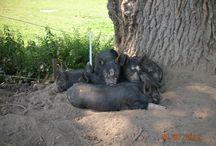 Pigs / Berkshire pig, saddleback pig, Gloucester old spot pig, tamworth pig outdoor raised