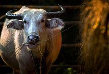 Wallpapers Cows / http://downloadeer.com/wallpapers/animals/cows/