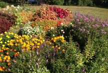 Perennials  / A great way to accent your landscape with color that comes back year after year. Planting a garden with a variety of bloom times and heights make a year round interest,