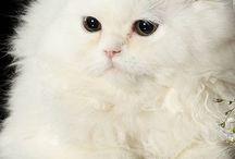 Gatos Angora / Imágenes de gatos Angora