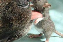 Ratten ❤️