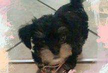 My Morkie~Chloé...l♡ve