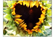 LoVe for Sunflowers / by mandy lewis
