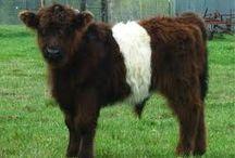 Galloway  Cattle / by Chris Gardner