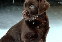Labrador kölykök