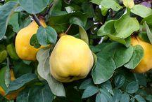 сад плодовые айва