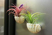 Pflanzen in Muscheln / Deko