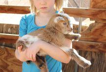Natural world - goats and sheep