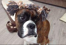 Dexter the Boxer Dog