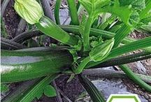 Garten Zucchini Tipps