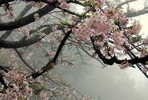 Flowerpower - Kirschblüten /