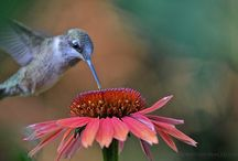 Hummers / Hummingbirds / by Denise Bailey
