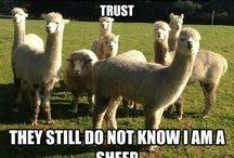 Alpaca's and sheeps