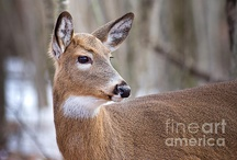 Deer / All of these photos, as well as my other images are available as greeting cards, prints, etc.