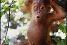 Orangutans - Just Because