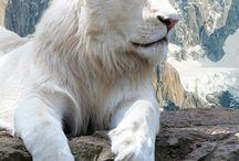 Animals - Big Cats