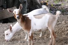 Dairy Goats / All things dairy goat