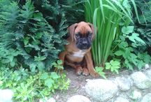 Dog Boxer Max / Další člen do rodiny